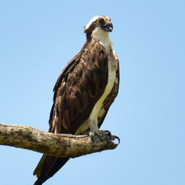 Western-Osprey