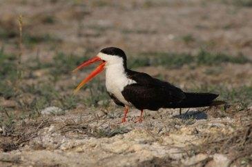 Malawi Birding Tour