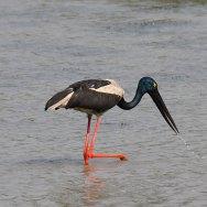 Black-necked-Stork