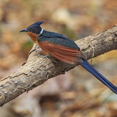 Chestnut-winged-Cuckoo