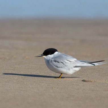 Damara-Tern-at-Walvis-Bay