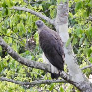Grey-headed-Fish-Eagle