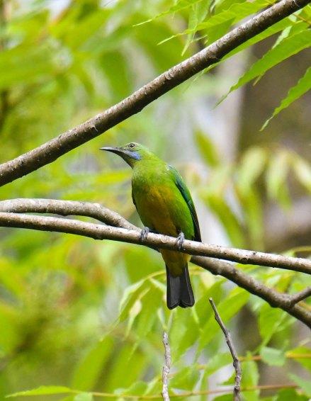 Orange-bellied-Leafbird