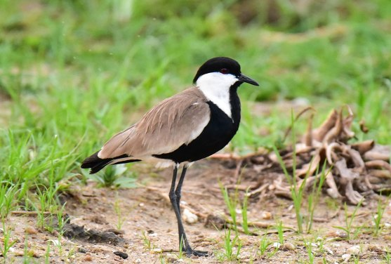 Spur-winged-Lapwing