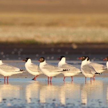 Relict-Gulls