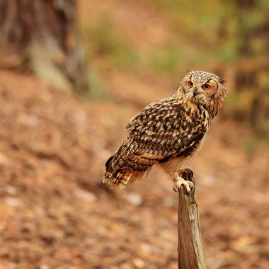 Pharaoh-Eagle-Owl