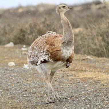 Birding in Chile