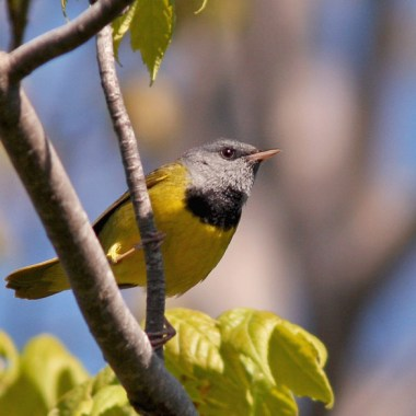 Newfoundland Birding