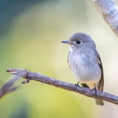 Asian-Brown-Flycatcher-at-Okoki