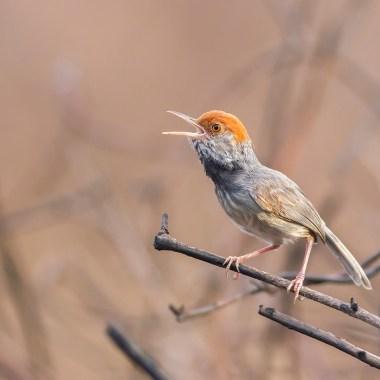 Cambodian-Tailorbird-at-Tailorbird-Site-(1)