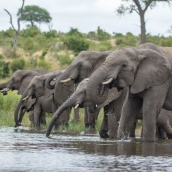 Elephants drinking. B Weir