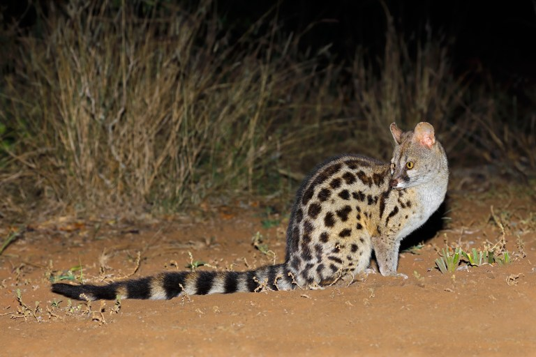 Secret 7 - South African Large-spotted Genet.jpg