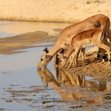 Impala-drinking-at-a-waterhole-in-Kruger-NP