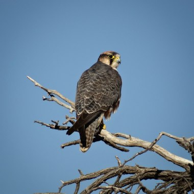 Lanner-Falcon-at-Blyde-River-Canyon