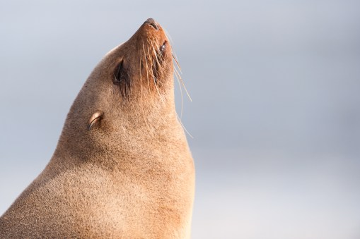 Seals at Cape Cross Seal Reserve in Namibia