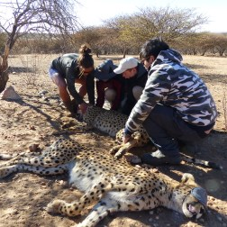 Cheetah conservation work (2)