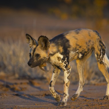 African Wild Dog with collar
