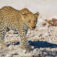 Etosha - Leopard