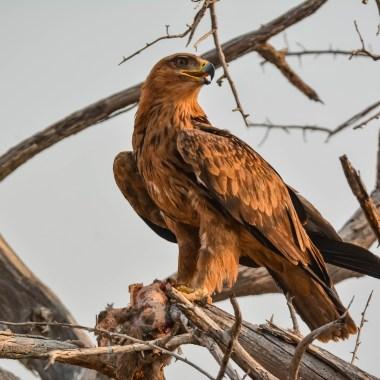 Tawny Eagle on a kill