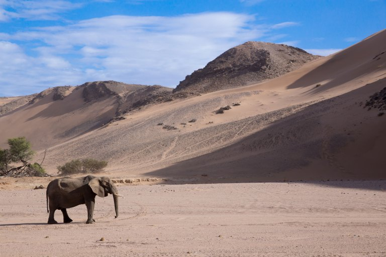 Desert-adapted-African-Elephant-(1)