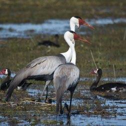 Wattled-Cranes