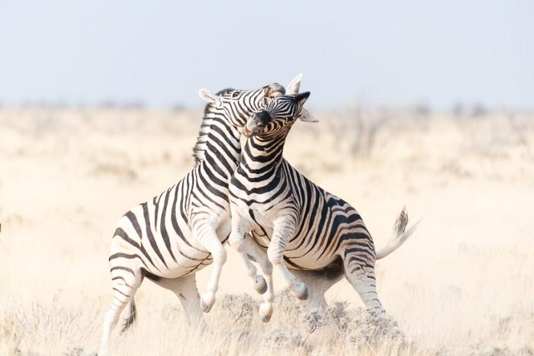 zebra stallions fighting - etosha NP