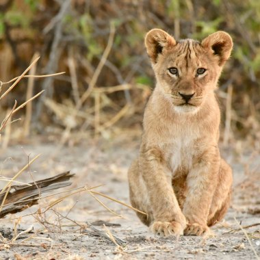 Lion-cub-in-Chobe