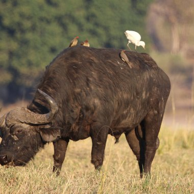 African-Buffalo-in-Mudumu