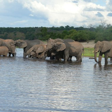 African-Elephants-in-Chobe