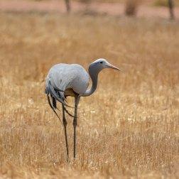 Blue-Crane-in-Etosha