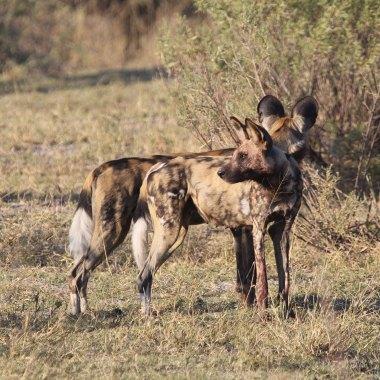 Erindi---African-Wild-Dogs