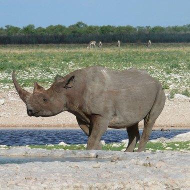 Etosha---Black-Rhinoceros