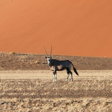 Gemsbok-in-the-red-dunes-of-Namibia