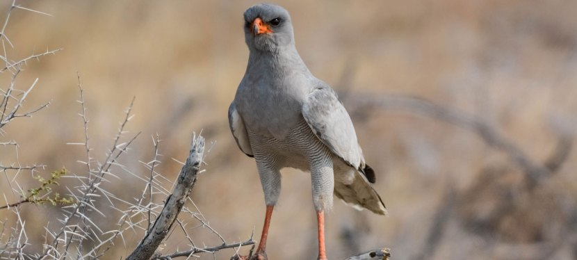 Short Namibia Endemics Birding