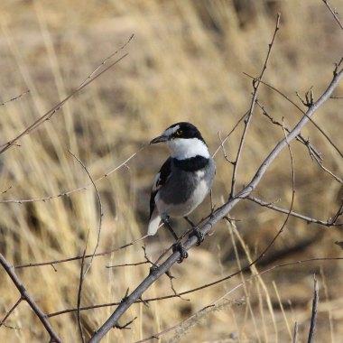 White-tailed-Shrike-at-Erongo