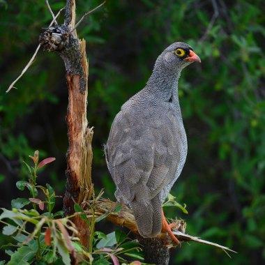 Red-billed-Spurfowl-along-the-Okavango