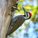 Bearded-Woodpecker