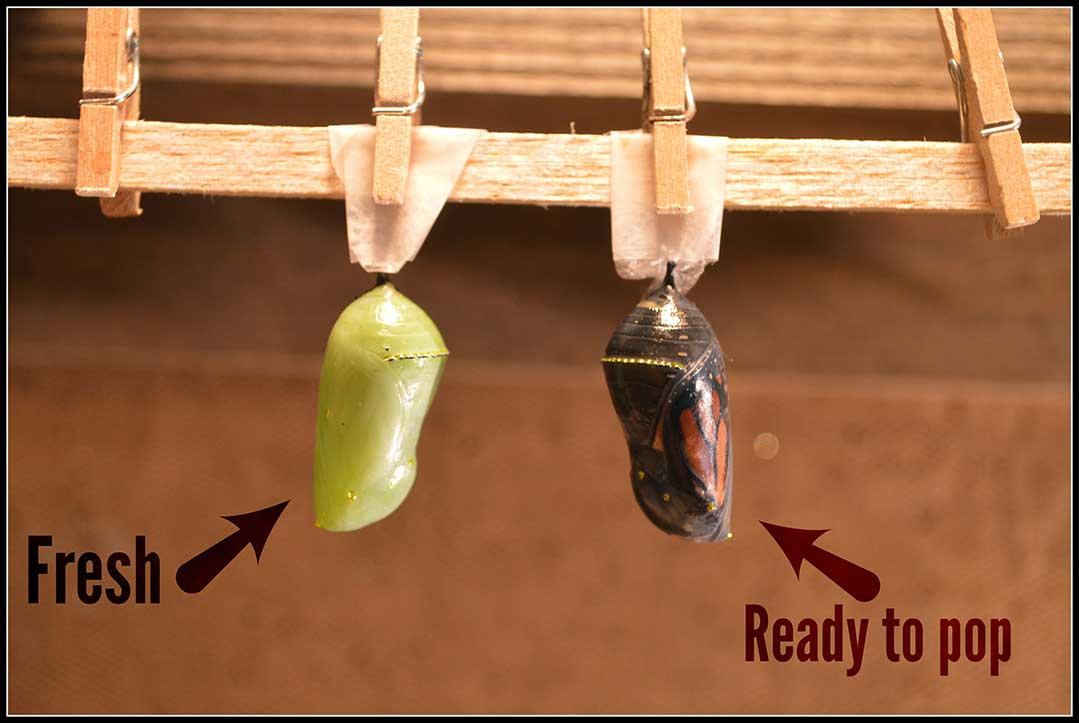32-Chrysalis-ready