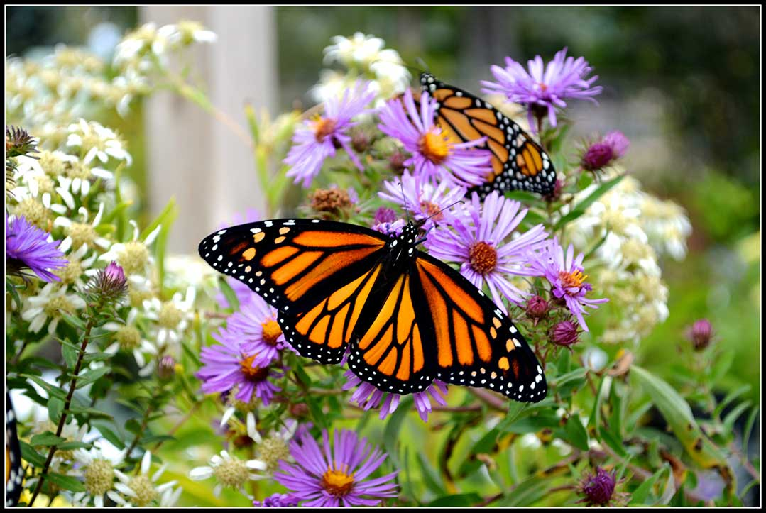 51-Monarchs-on-Asters