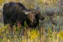 Moose and calf
