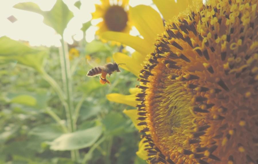 Eine Biene sammelt den Pollen einer Sonnenblume.