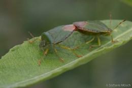 Grüne Stinkwanzen (Palomena prasina)