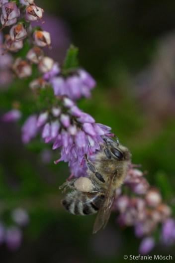 Honigbiene an Besenheide (Calluna vulgaris)