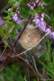 Ei der Wespenspinne (Argiope bruennichi)