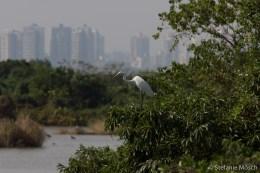 Chinese egret or Swinhoe's egret (Egretta eulophotes)