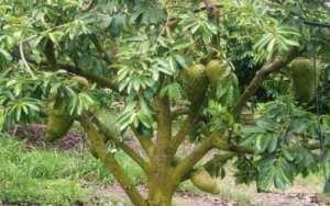 annona-muricata-arbol