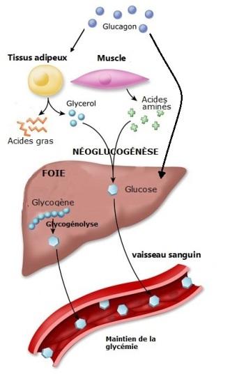 Image 2_physiologie jeûne