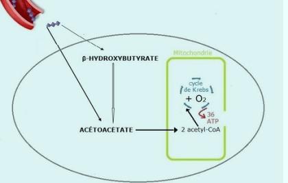 Image 4_physiologie jeûne