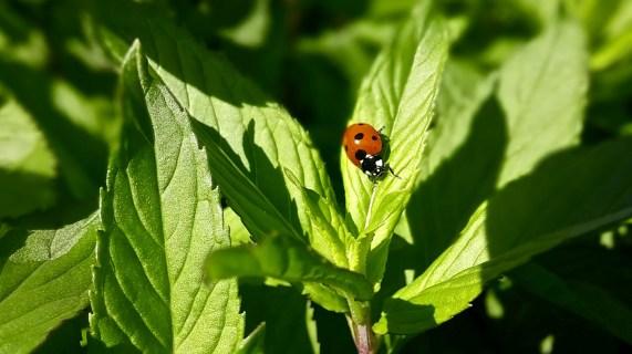 nature coccinelle ladybug-1560298_1920