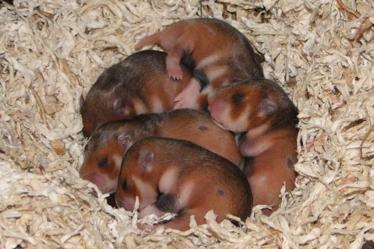 bebes-hamsters